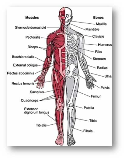 physio ex exercise the muscular system skeletal muscle Physioex exercise 2 activity 4 exercise 2: skeletal muscle physiology: physioex e2a6 exercise 2: skeletal muscle muscular system, skeletal muscle anatomy.